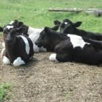 Три способа выпаивания здорового теленка
