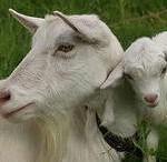 Выбор и покупка козы