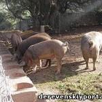 Откорм свиней. Типы кормления