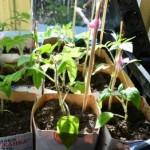 Высадка и пикировка рассады помидор