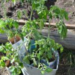 Помидорчики мои. Посадка и выращивание помидор в теплице