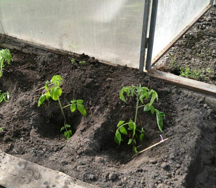Как правильно сажать рассаду томатов 93