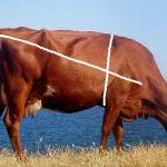 Определяем вес бычков обмером - таблица обмера КРС