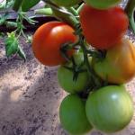 Сорт томата Яблонька России (Тамина)